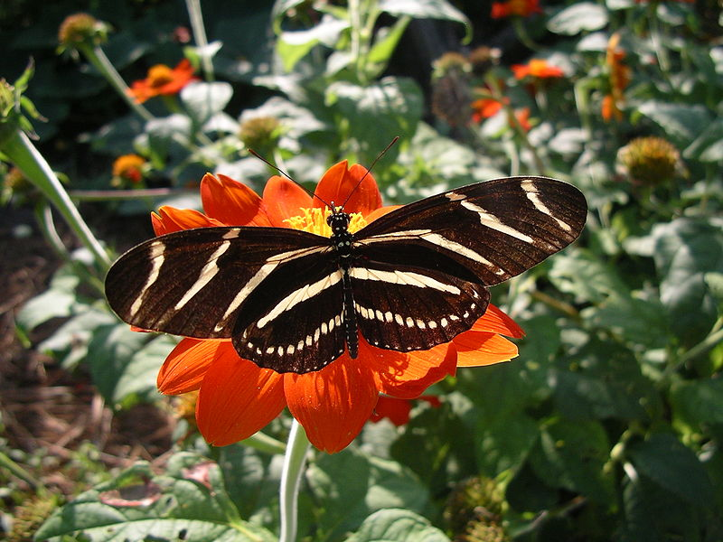 Heliconius charithonius butterfly