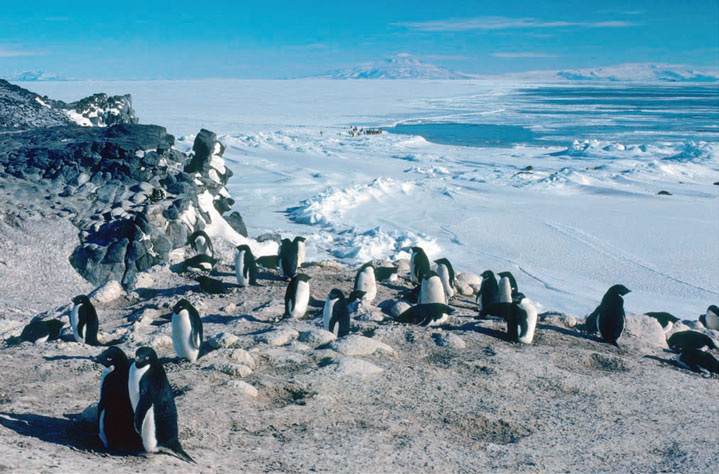 Adélie penguins couple on the rookery at Cape Royds about one hundred yards from the doorstep of Shackleton's hut