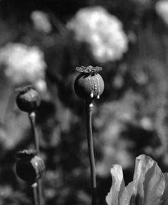 Ripe pod of the opium poppy, scored and exuding opium.
