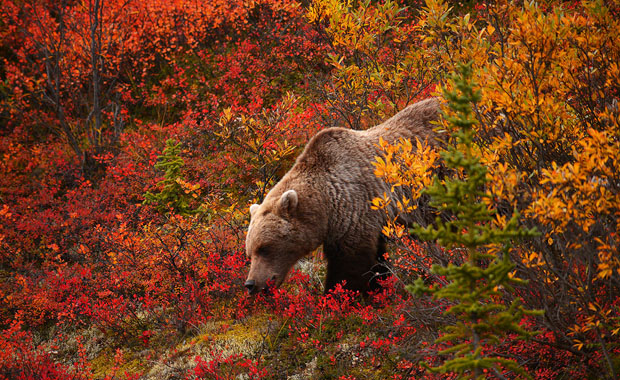 Grizzly Bear Red Forest Cover